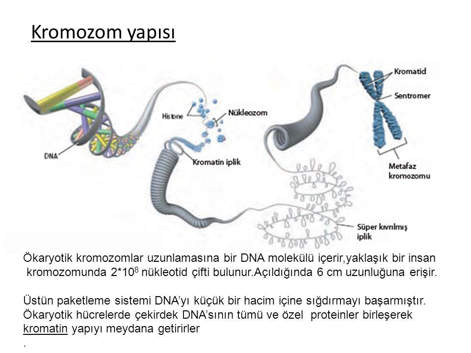 Kromozom yapısı Ökaryotik kromozomlar uzunlamasına bir DNA molekülü içerir,yaklaşık bir insan.