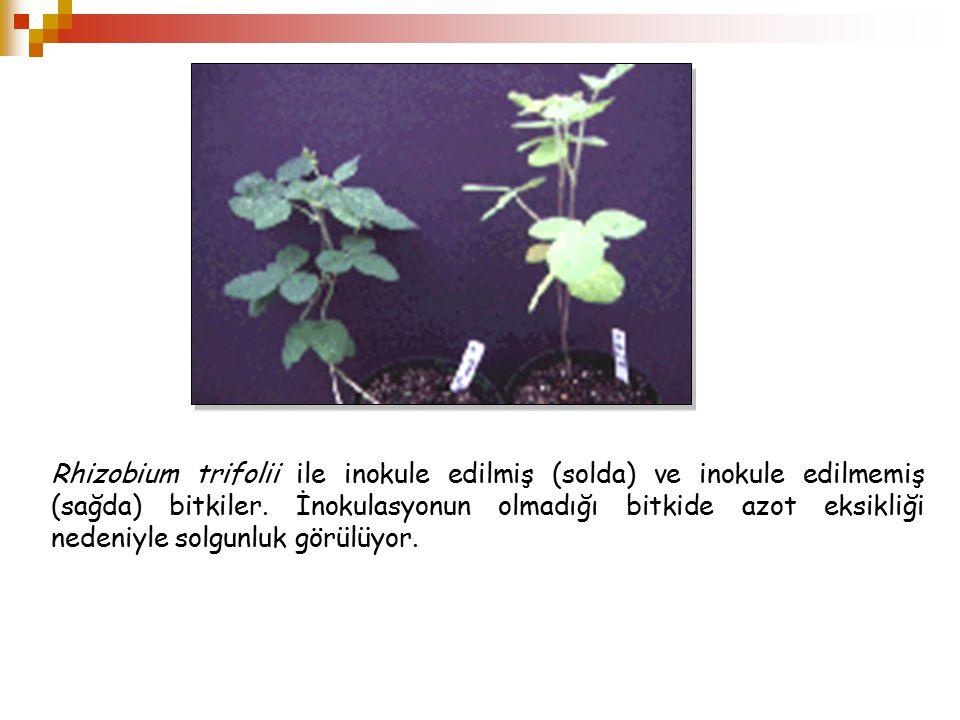 Rhizobium trifolii ile inokule edilmiş (solda) ve inokule edilmemiş (sağda) bitkiler.