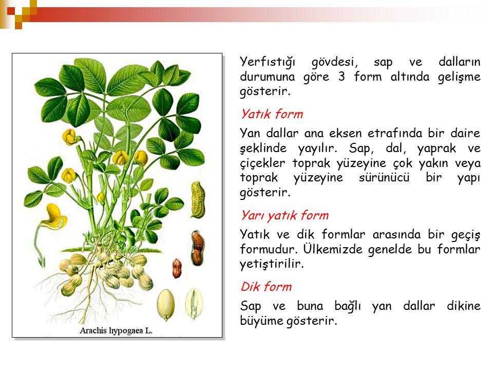 Yerfıstığı gövdesi, sap ve dalların durumuna göre 3 form altında gelişme gösterir.