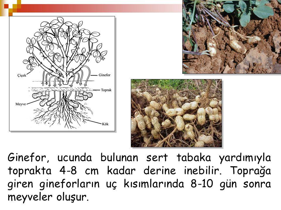 Ginefor, ucunda bulunan sert tabaka yardımıyla toprakta 4-8 cm kadar derine inebilir.