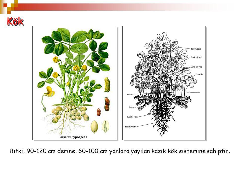 Kök Bitki, 90-120 cm derine, 60-100 cm yanlara yayılan kazık kök sistemine sahiptir.