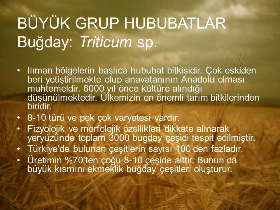BÜYÜK GRUP HUBUBATLAR Buğday: Triticum sp.
