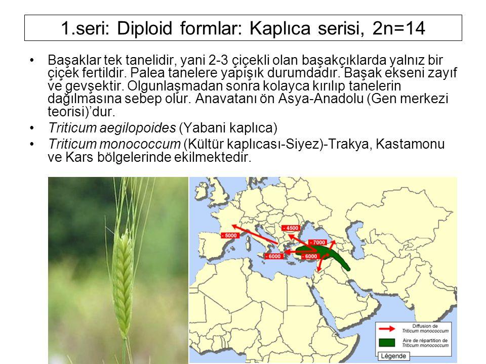 1.seri: Diploid formlar: Kaplıca serisi, 2n=14