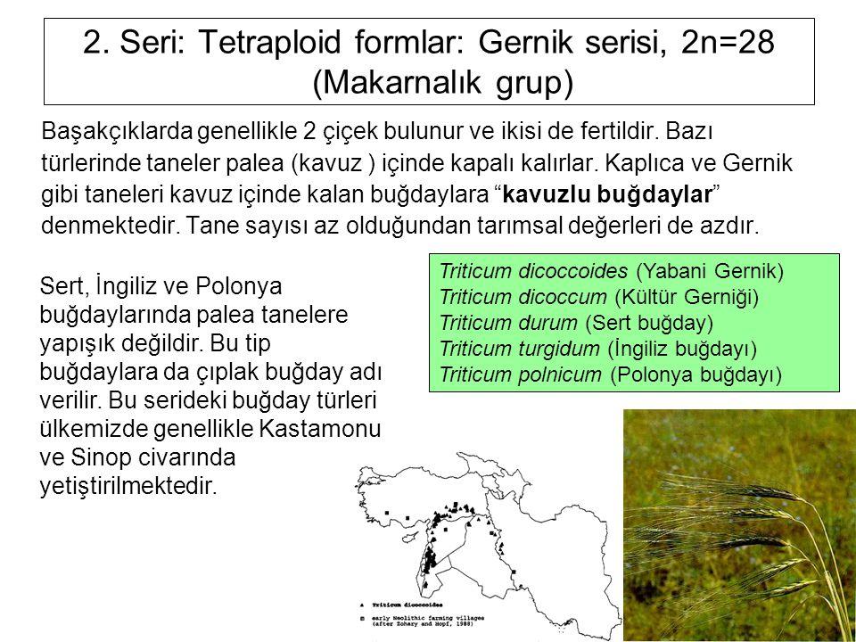 2. Seri: Tetraploid formlar: Gernik serisi, 2n=28 (Makarnalık grup)