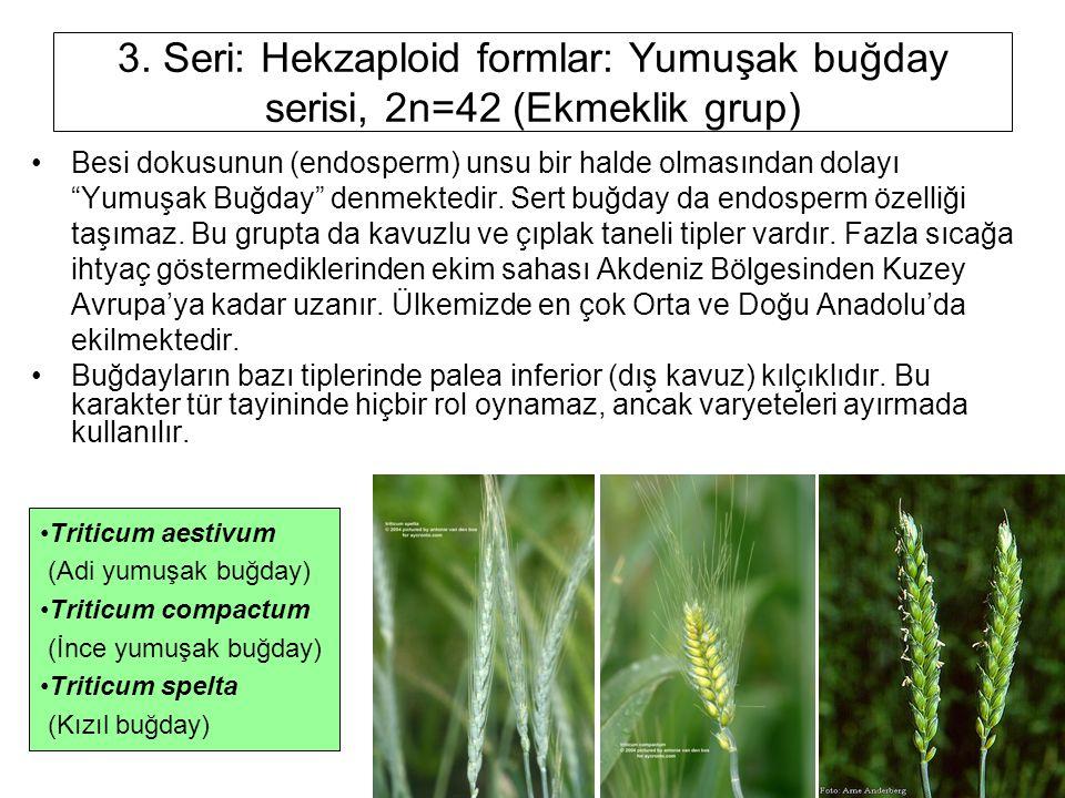 3. Seri: Hekzaploid formlar: Yumuşak buğday serisi, 2n=42 (Ekmeklik grup)