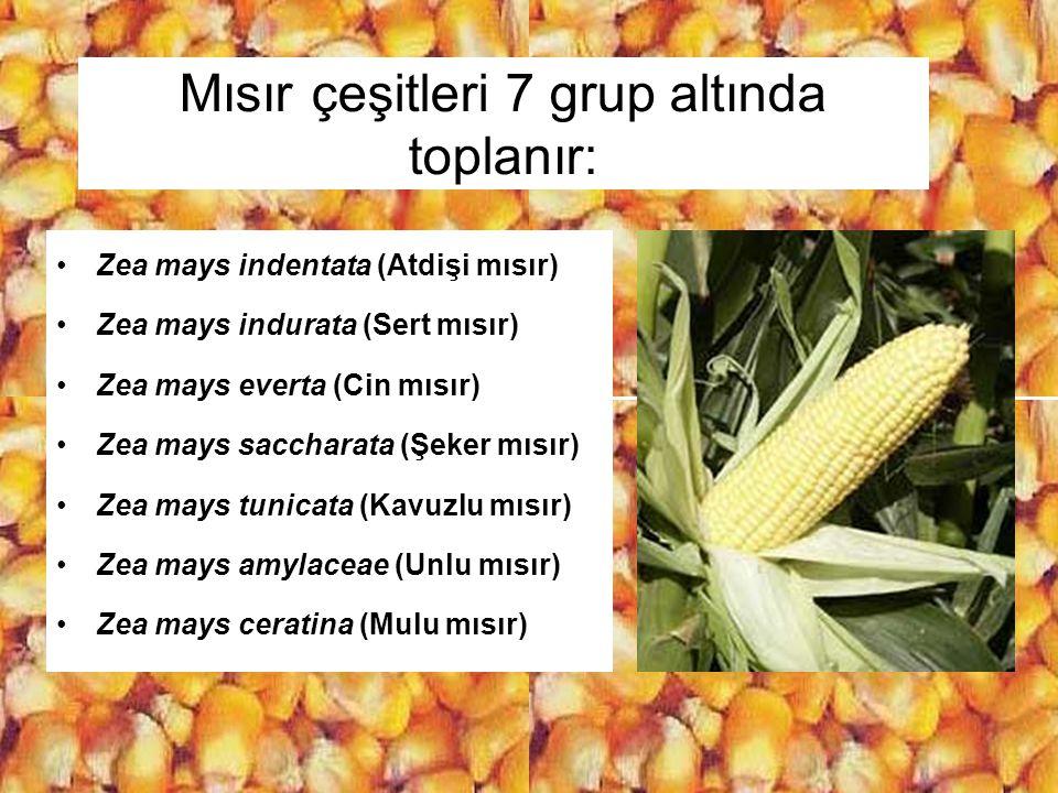 Mısır çeşitleri 7 grup altında toplanır: