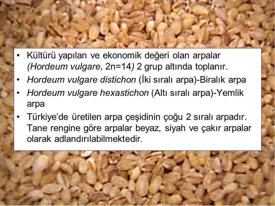 Kültürü yapılan ve ekonomik değeri olan arpalar (Hordeum vulgare, 2n=14) 2 grup altında toplanır.