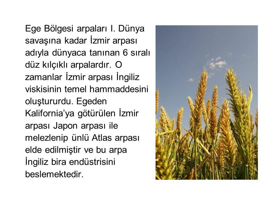 Ege Bölgesi arpaları I.
