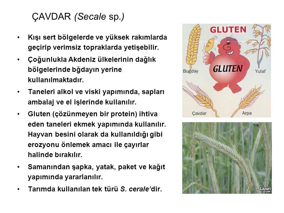 ÇAVDAR (Secale sp.) Kışı sert bölgelerde ve yüksek rakımlarda geçirip verimsiz topraklarda yetişebilir.