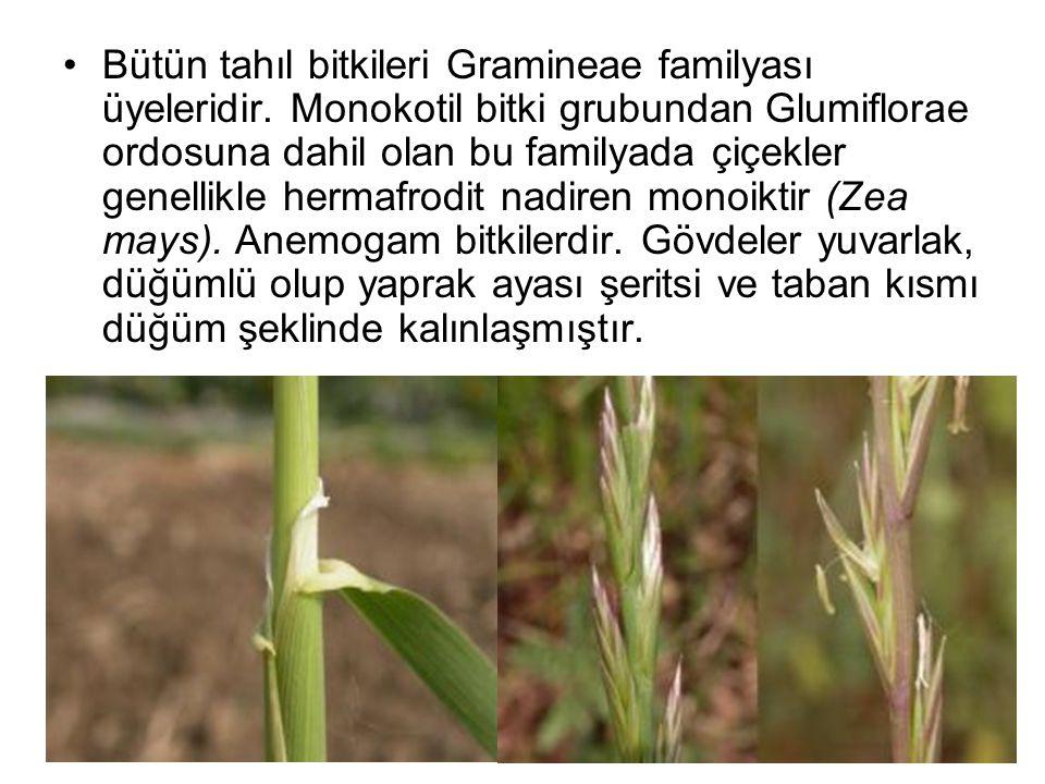 Bütün tahıl bitkileri Gramineae familyası üyeleridir