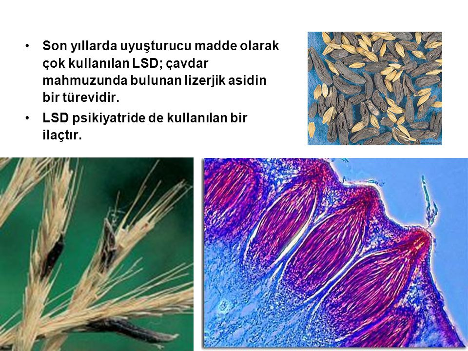 Son yıllarda uyuşturucu madde olarak çok kullanılan LSD; çavdar mahmuzunda bulunan lizerjik asidin bir türevidir.