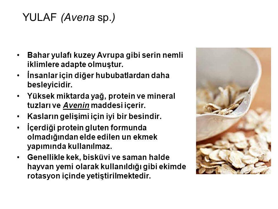 YULAF (Avena sp.) Bahar yulafı kuzey Avrupa gibi serin nemli iklimlere adapte olmuştur. İnsanlar için diğer hububatlardan daha besleyicidir.