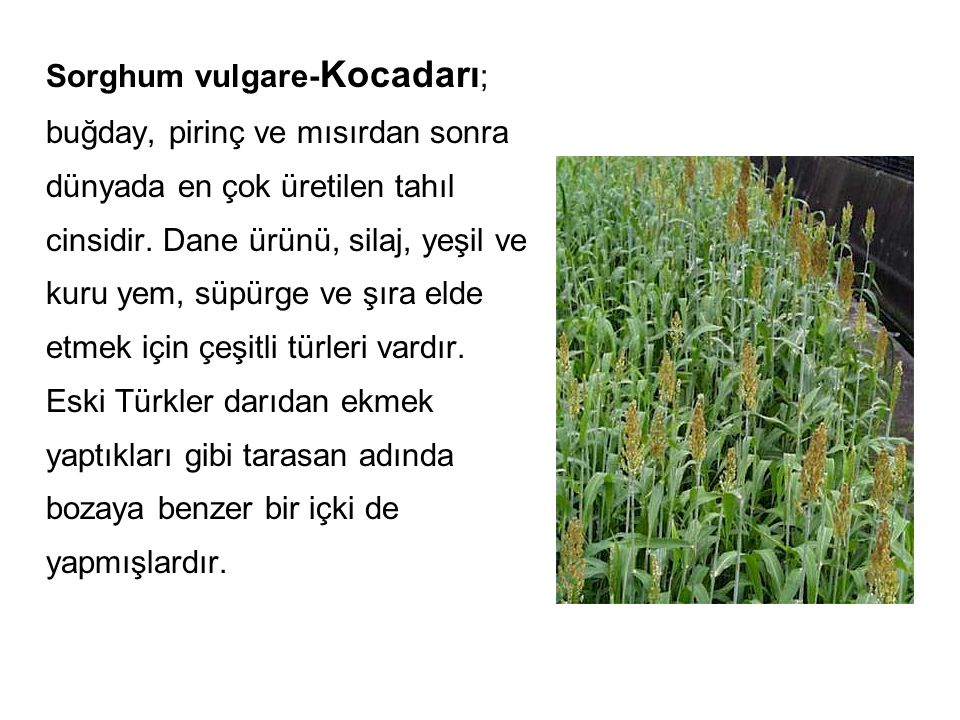 Sorghum vulgare-Kocadarı; buğday, pirinç ve mısırdan sonra dünyada en çok üretilen tahıl cinsidir.
