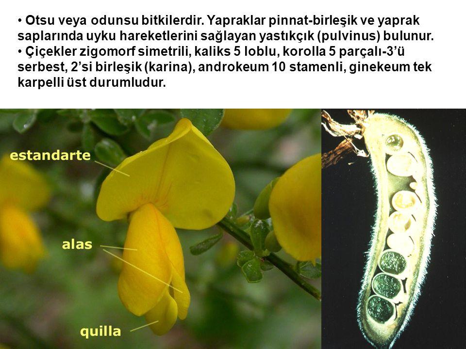 Otsu veya odunsu bitkilerdir