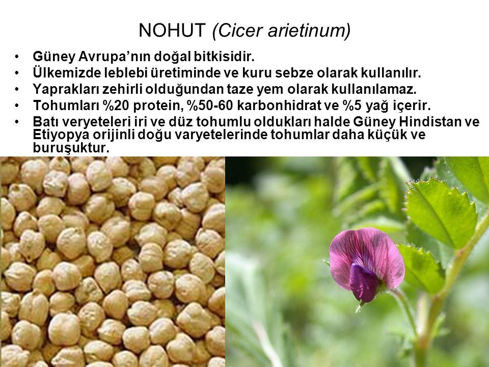 NOHUT (Cicer arietinum)