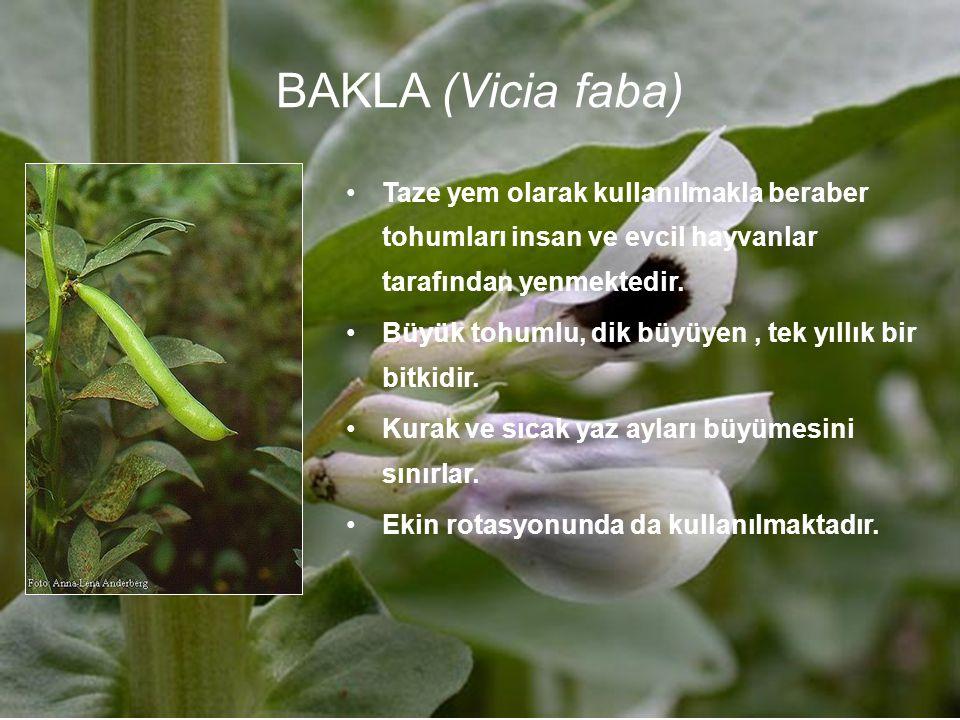 BAKLA (Vicia faba) Taze yem olarak kullanılmakla beraber tohumları insan ve evcil hayvanlar tarafından yenmektedir.
