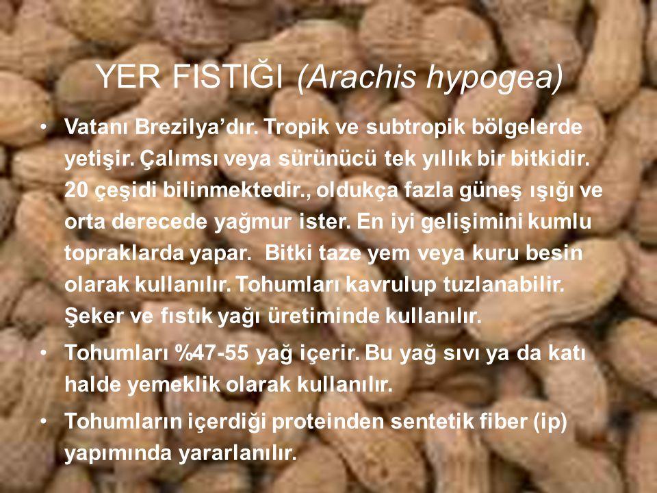 YER FISTIĞI (Arachis hypogea)