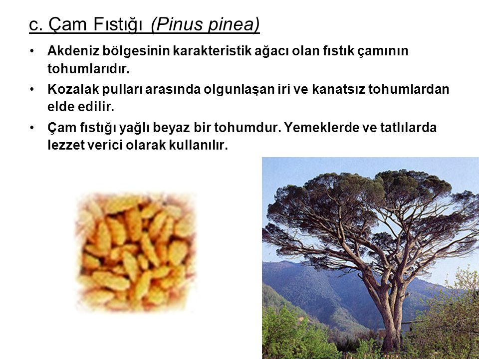 c. Çam Fıstığı (Pinus pinea)