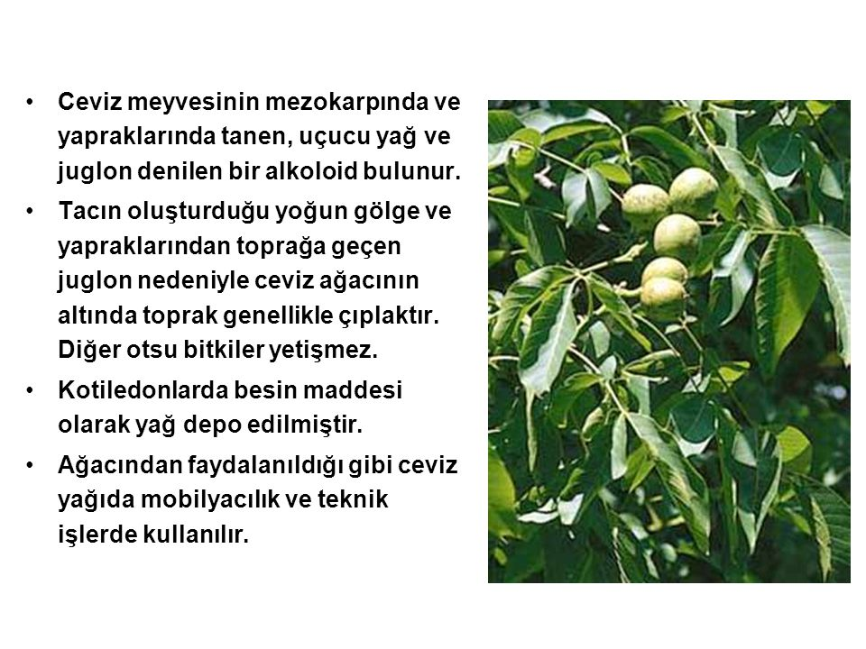 Ceviz meyvesinin mezokarpında ve yapraklarında tanen, uçucu yağ ve juglon denilen bir alkoloid bulunur.
