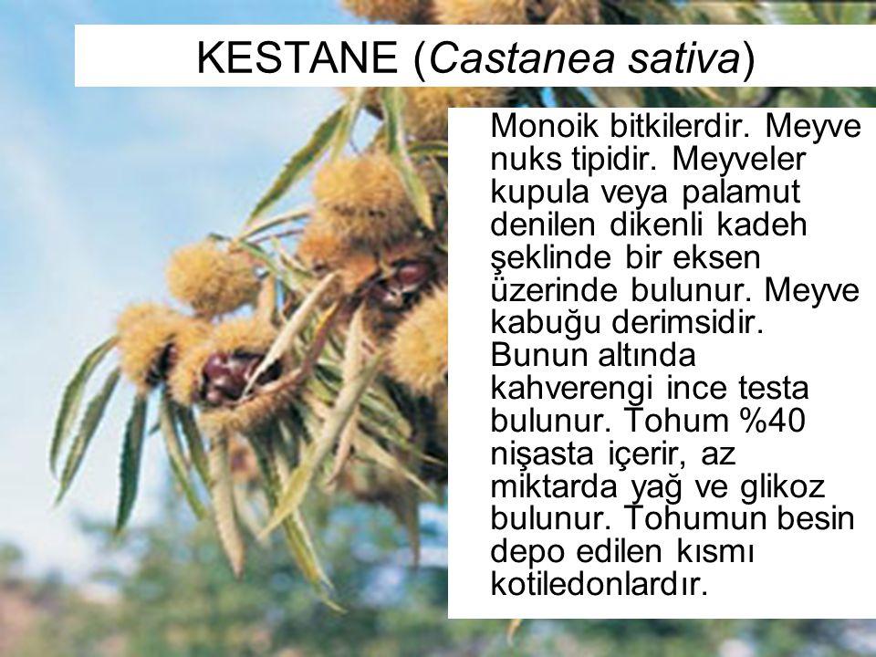 KESTANE (Castanea sativa)