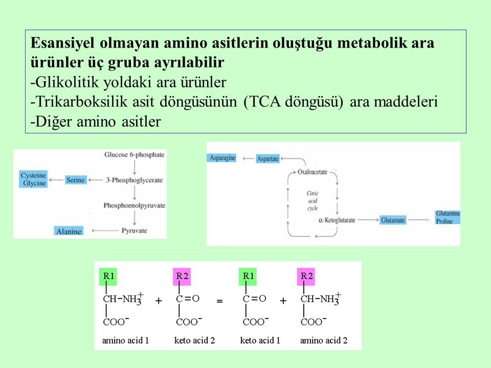 Esansiyel olmayan amino asitlerin oluştuğu metabolik ara ürünler üç gruba ayrılabilir