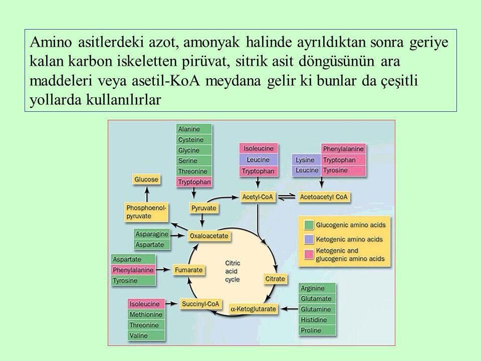 Amino asitlerdeki azot, amonyak halinde ayrıldıktan sonra geriye kalan karbon iskeletten pirüvat, sitrik asit döngüsünün ara maddeleri veya asetil-KoA meydana gelir ki bunlar da çeşitli yollarda kullanılırlar