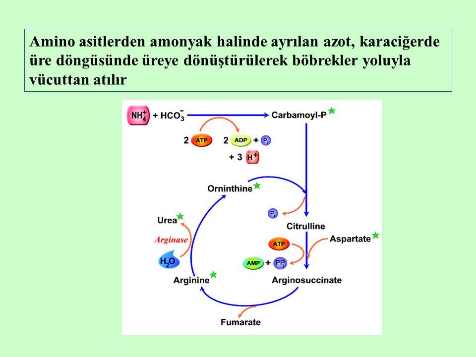 Amino asitlerden amonyak halinde ayrılan azot, karaciğerde üre döngüsünde üreye dönüştürülerek böbrekler yoluyla vücuttan atılır