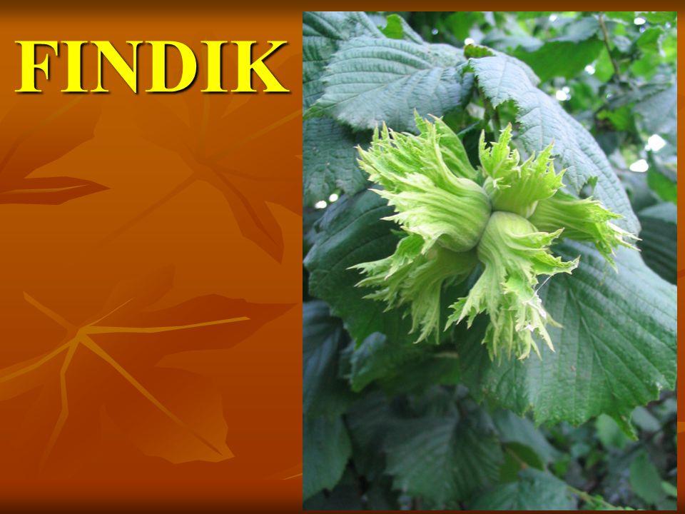 FINDIK