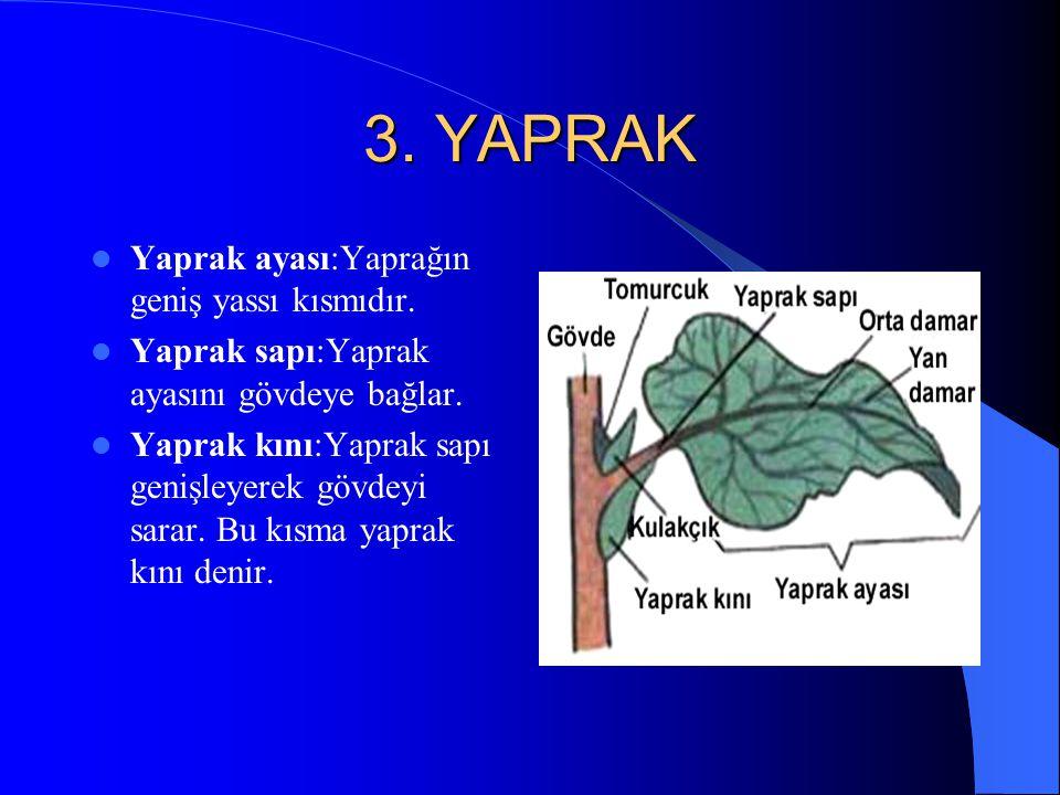 3. YAPRAK Yaprak ayası:Yaprağın geniş yassı kısmıdır.