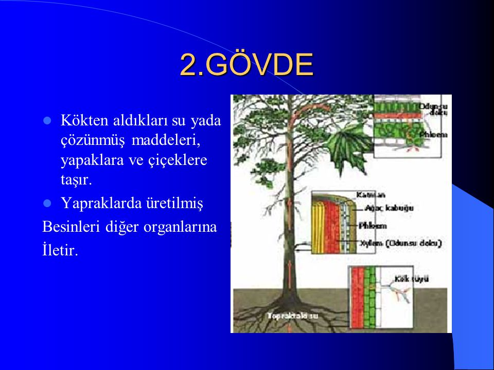 2.GÖVDE Kökten aldıkları su yada çözünmüş maddeleri, yapaklara ve çiçeklere taşır. Yapraklarda üretilmiş.