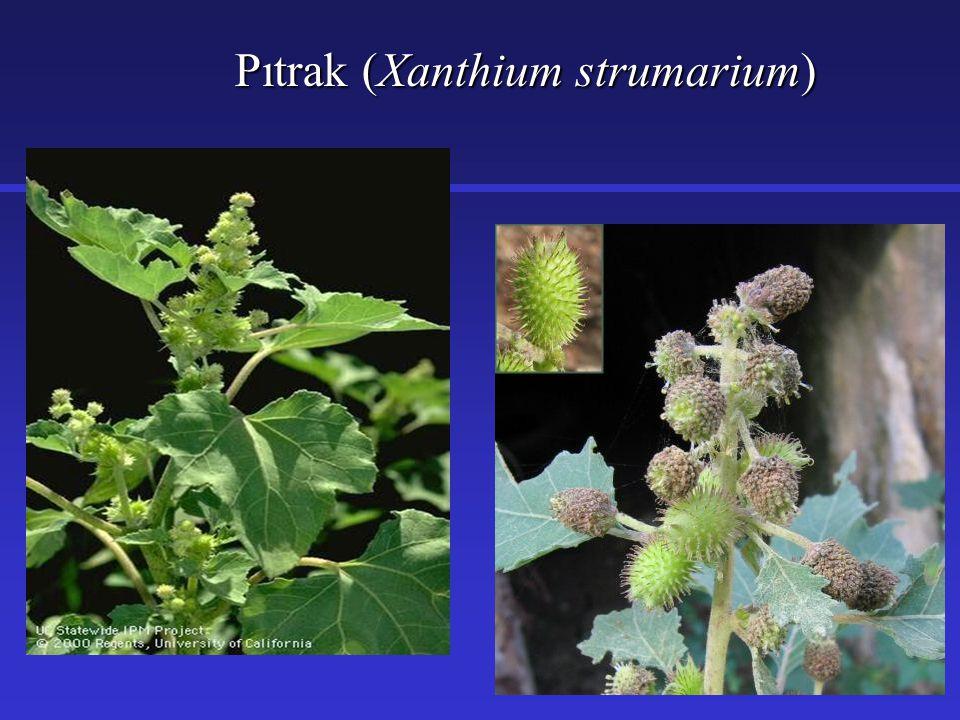Pıtrak (Xanthium strumarium)