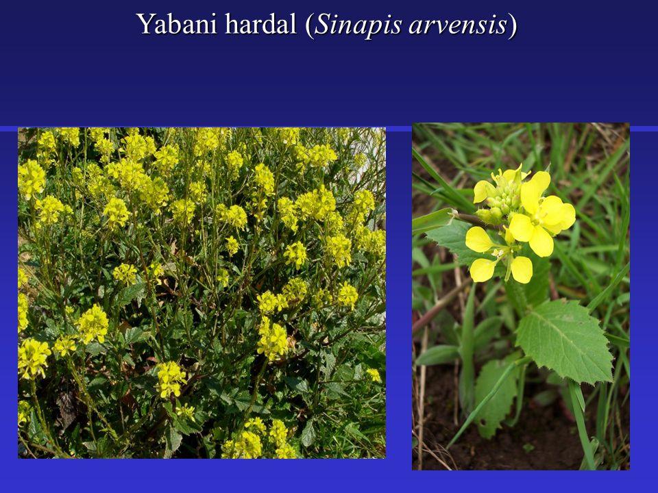 Yabani hardal (Sinapis arvensis)