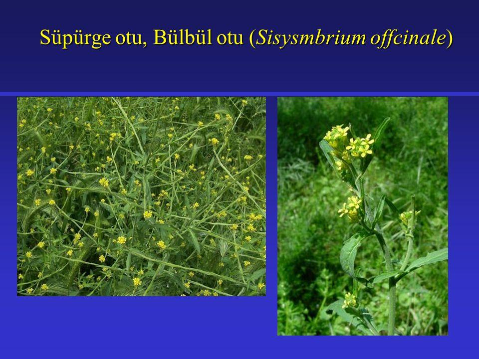 Süpürge otu, Bülbül otu (Sisysmbrium offcinale)