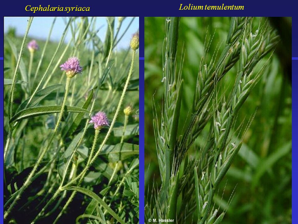 Cephalaria syriaca Lolium temulentum