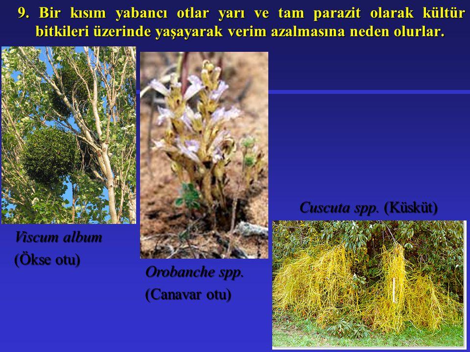 9. Bir kısım yabancı otlar yarı ve tam parazit olarak kültür bitkileri üzerinde yaşayarak verim azalmasına neden olurlar.