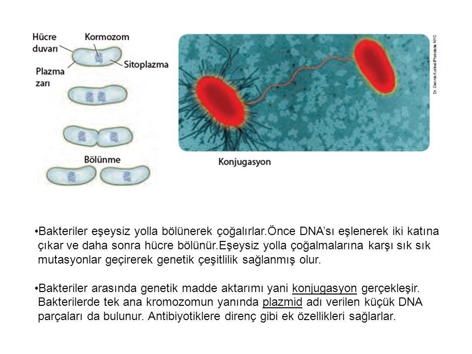 Bakteriler eşeysiz yolla bölünerek çoğalırlar