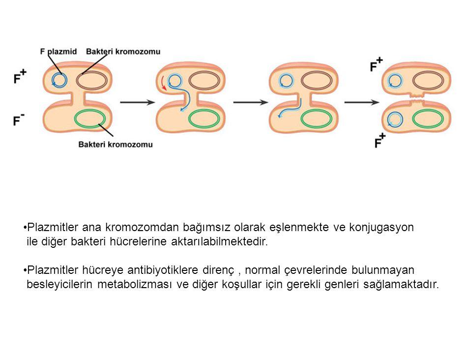 Plazmitler ana kromozomdan bağımsız olarak eşlenmekte ve konjugasyon