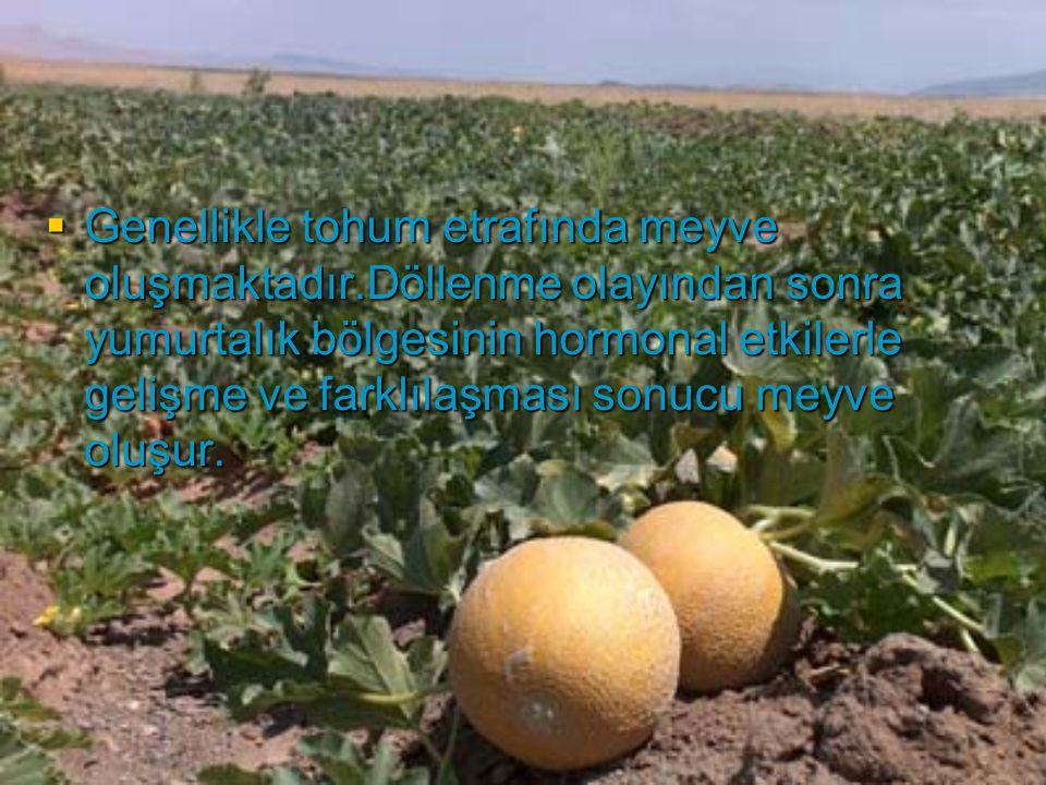Genellikle tohum etrafında meyve oluşmaktadır