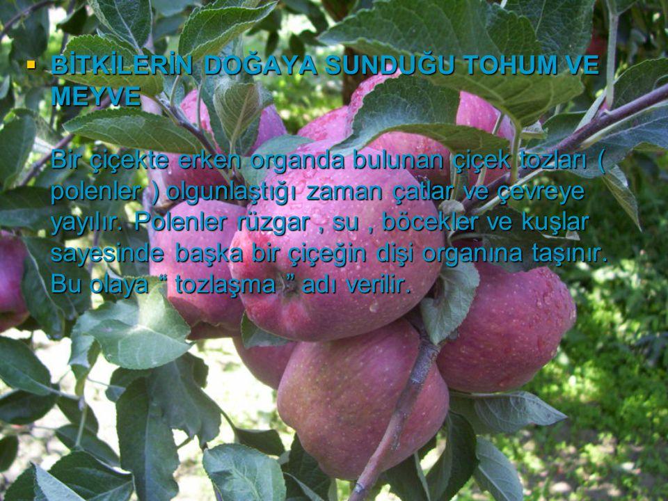 BİTKİLERİN DOĞAYA SUNDUĞU TOHUM VE MEYVE Bir çiçekte erken organda bulunan çiçek tozları ( polenler ) olgunlaştığı zaman çatlar ve çevreye yayılır.