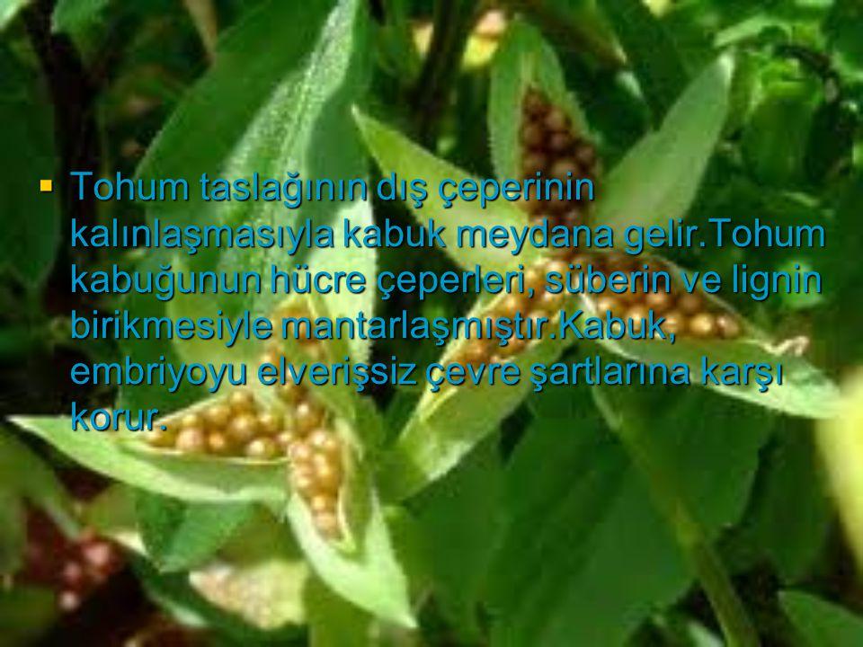 Tohum taslağının dış çeperinin kalınlaşmasıyla kabuk meydana gelir