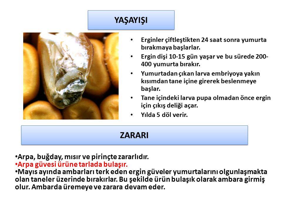 YAŞAYIŞI ZARARI Arpa, buğday, mısır ve pirinçte zararlıdır.