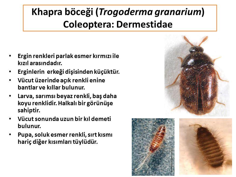 Khapra böceği (Trogoderma granarium) Coleoptera: Dermestidae