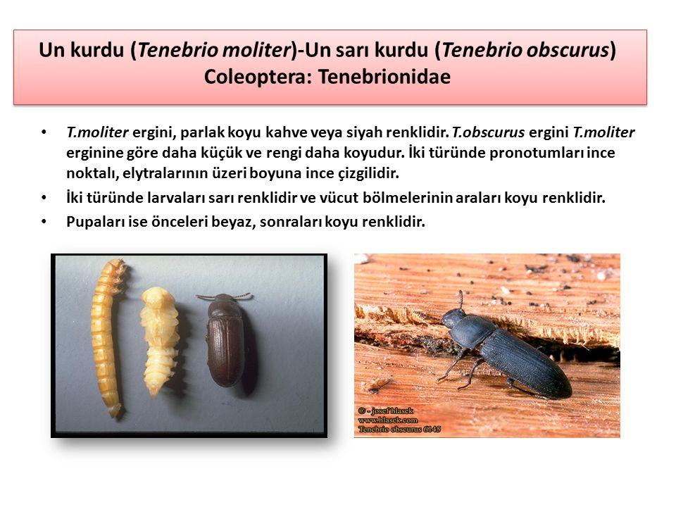Un kurdu (Tenebrio moliter)-Un sarı kurdu (Tenebrio obscurus) Coleoptera: Tenebrionidae