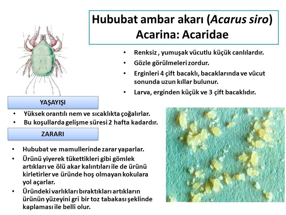 Hububat ambar akarı (Acarus siro) Acarina: Acaridae