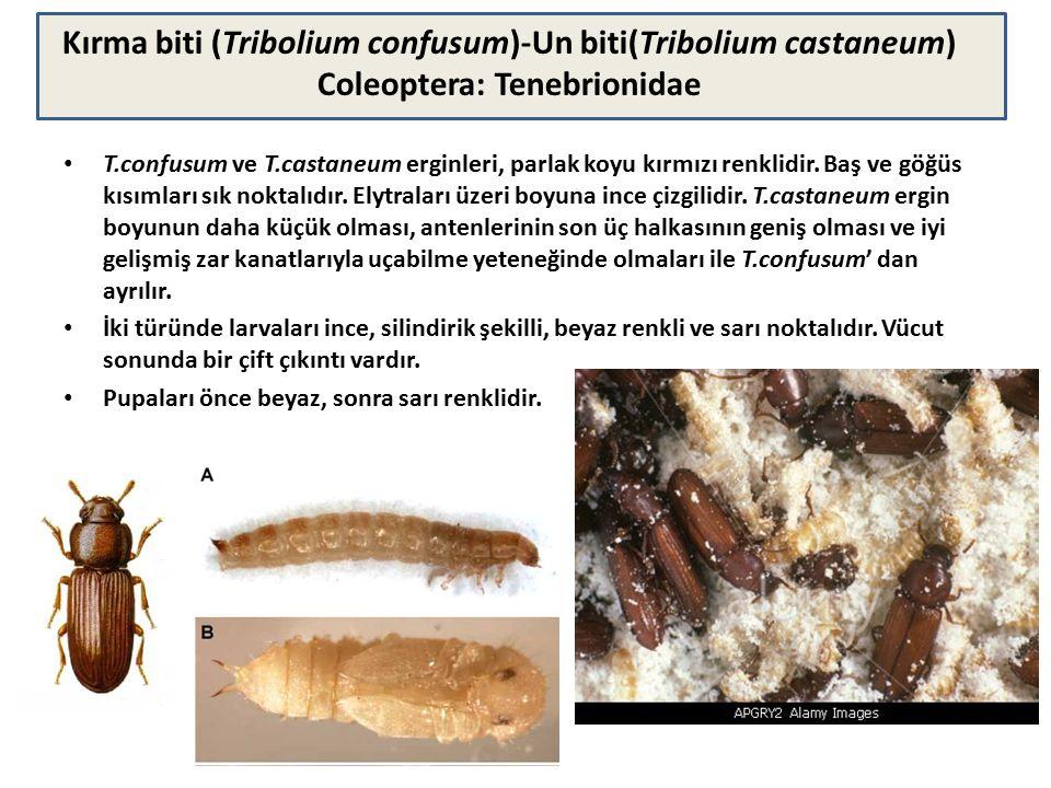 Kırma biti (Tribolium confusum)-Un biti(Tribolium castaneum) Coleoptera: Tenebrionidae