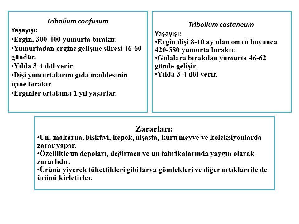Zararları: Tribolium confusum Tribolium castaneum Yaşayışı: Yaşayışı: