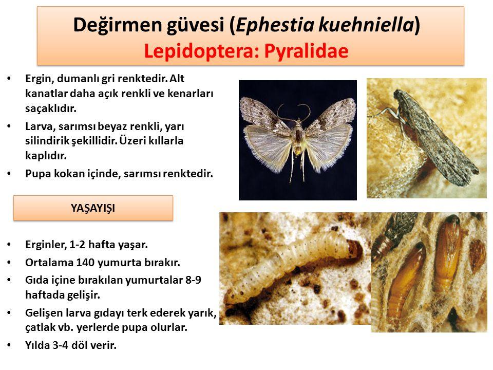 Değirmen güvesi (Ephestia kuehniella) Lepidoptera: Pyralidae