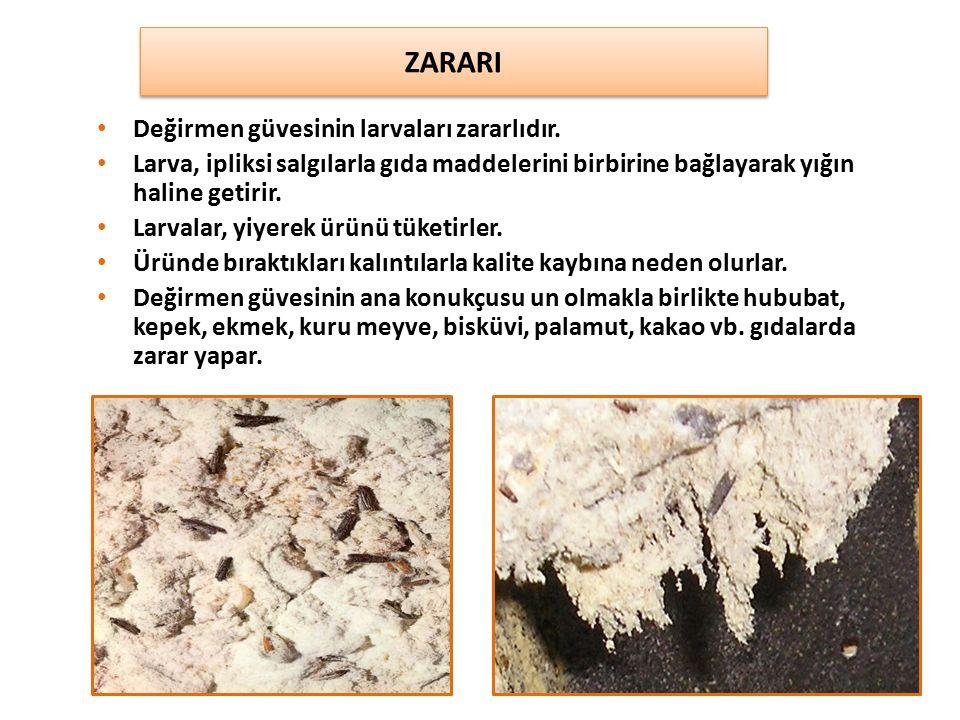 ZARARI Değirmen güvesinin larvaları zararlıdır.