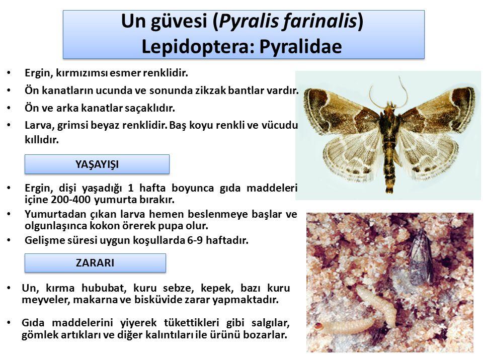 Un güvesi (Pyralis farinalis) Lepidoptera: Pyralidae