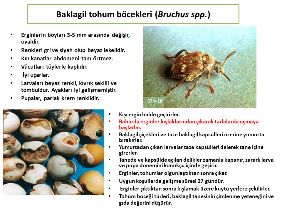 Baklagil tohum böcekleri (Bruchus spp.)